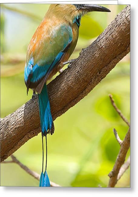 Birdwatcher Greeting Cards - Motmot Greeting Card by Peter Boyer