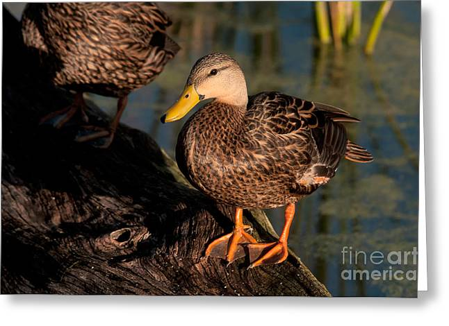 Anatinae Greeting Cards - Mottled Duck Greeting Card by Mark Newman