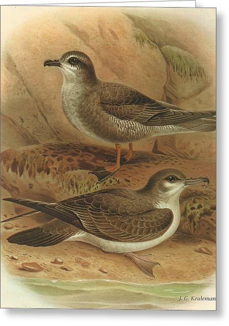 Mottled Greeting Cards - Mottled Petrel and Bullers Shearwater Greeting Card by J G Keulemans