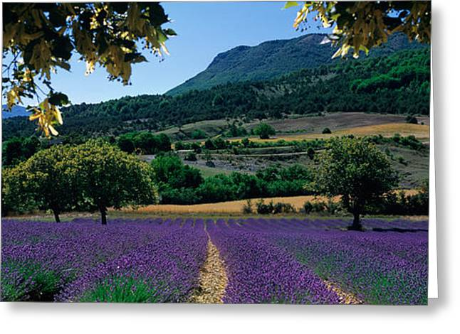 Panorama Mountain Images Greeting Cards - Mountain Behind A Lavender Field Greeting Card by Panoramic Images