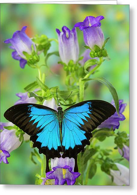 Mountain Blue Swallowtail Of Australia Greeting Card by Darrell Gulin