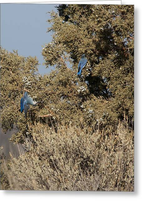 State Parks In Oregon Greeting Cards - Mountain Bluebird - 0001 Greeting Card by S and S Photo