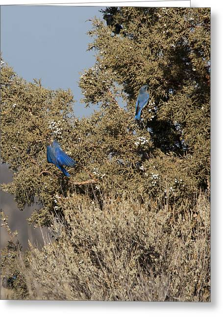 State Parks In Oregon Greeting Cards - Mountain Bluebird - 0002 Greeting Card by S and S Photo