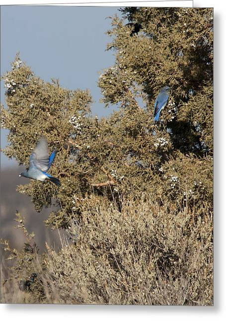 State Parks In Oregon Greeting Cards - Mountain Bluebird - 0003 Greeting Card by S and S Photo