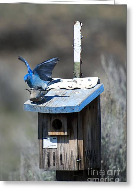 Mate Greeting Cards - Mountain Bluebirds Mating Greeting Card by Mike  Dawson