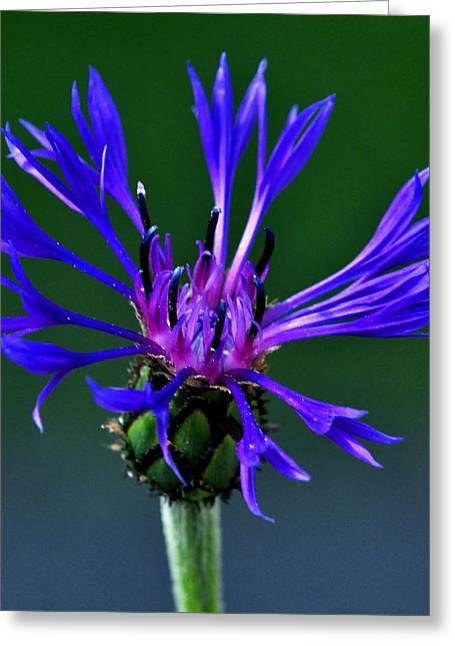 Centaurea Montana Greeting Cards - Mountain Bluet Greeting Card by Bryan Hanson