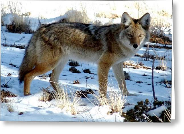 Brush Wolf Greeting Cards - Mountain Coyote Greeting Card by Marilyn Burton