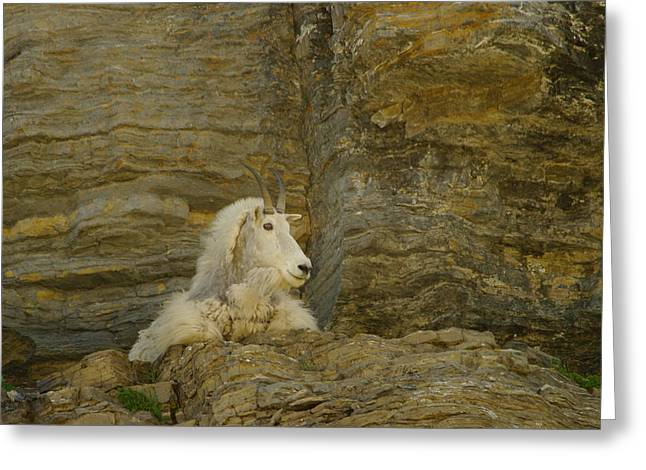 Living Things Greeting Cards - Mountain Goat Greeting Card by Jeff  Swan