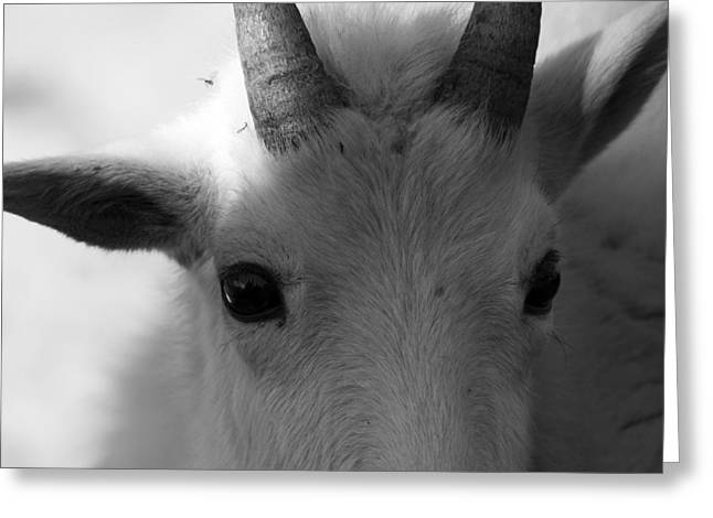 Apgar Greeting Cards - Mountain Goat Greeting Card by Jessie Mazur