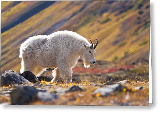 Full Body Greeting Cards - Mountain Goat Near Raven Glacier Greeting Card by Carl R. Battreall