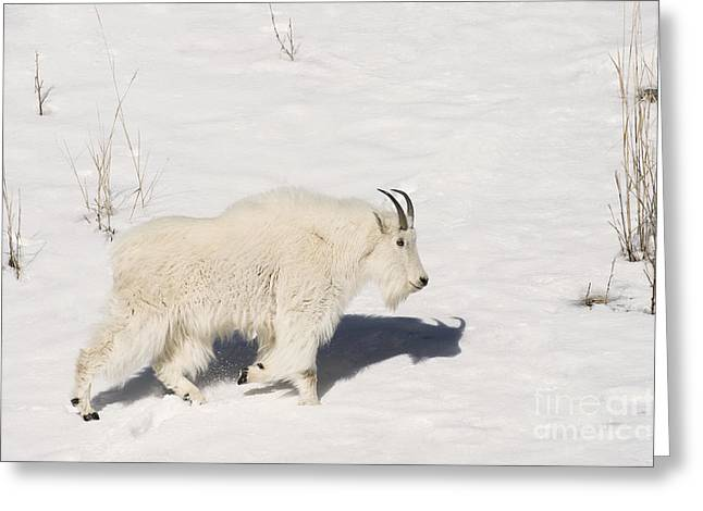 Profile Shadow Greeting Cards - Mountain Goat Stroll Greeting Card by Sandra Bronstein