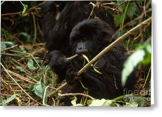 Mountain Gorilla Greeting Card by Art Wolfe