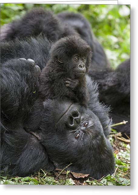 Critically Endangered Species Greeting Cards - Mountain Gorilla Baby Playing Greeting Card by Suzi  Eszterhas