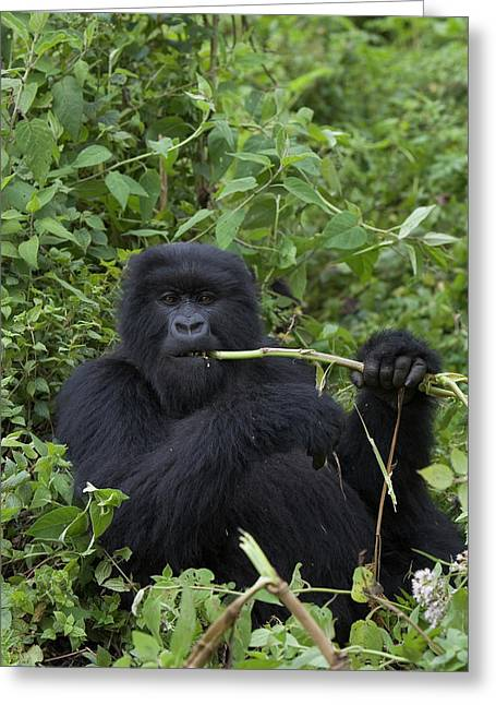 Ape Photographs Greeting Cards - Mountain Gorilla Eating Wild Celery Greeting Card by Suzi Eszterhas