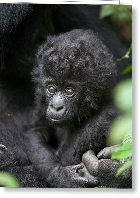 Ape Photographs Greeting Cards - Mountain Gorilla Infant Greeting Card by Suzi Eszterhas