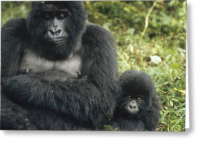 Portrait With Mountain Greeting Cards - Mountain Gorilla Mother And Baby Greeting Card by Konrad Wothe