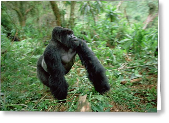 Gerry Greeting Cards - Mountain Gorilla Silverback Greeting Card by Gerry Ellis