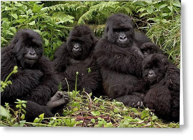 Immature Greeting Cards - Mountain Gorilla Susa Group Greeting Card by Ingo Arndt
