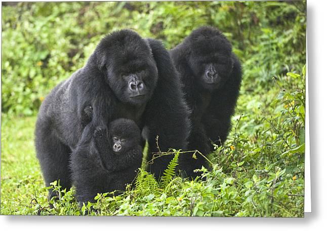 Animal Faces Greeting Cards - Mountain Gorillas Gorilla Beringei Greeting Card by Panoramic Images