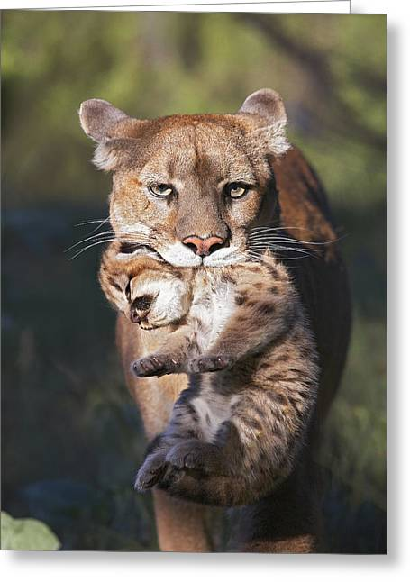 Puma Concolor Greeting Cards - Mountain Lion Carrying Her Cub Greeting Card by Tim Fitzharris