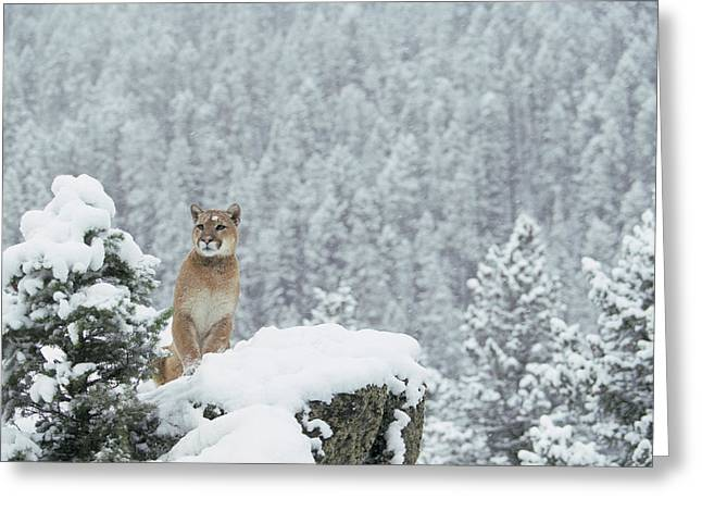 Photos Of Cats Photographs Greeting Cards - Mountain Lion In Snow Montana Greeting Card by Alan & Sandy Carey