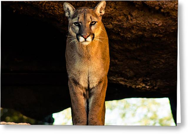 Recently Sold -  - Lions Greeting Cards - Mountain Lion Greeting Card by Pete Mecozzi