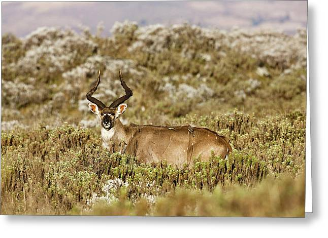 Mountain Nyala In Bale Mountains Greeting Card by Martin Zwick