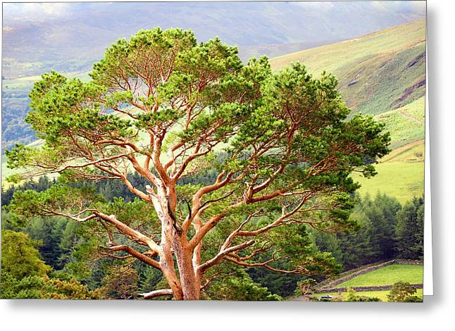 Evgeniya Vlasova Greeting Cards - Mountain Pine Tree in Wicklow. Ireland Greeting Card by Jenny Rainbow
