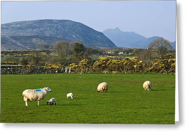 Jane Mcilroy Greeting Cards - Mourne Mountains near Kilkeel Greeting Card by Jane McIlroy