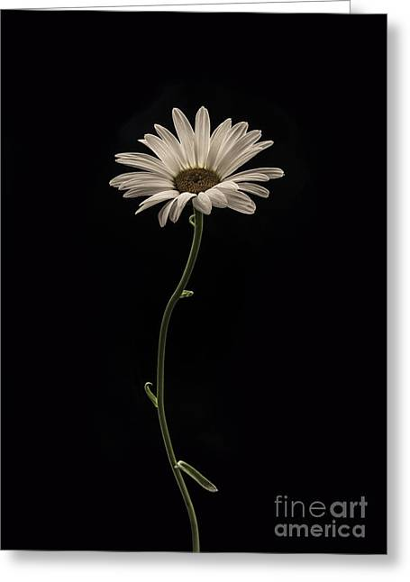 Daisy Greeting Cards - Mournful Daisy Greeting Card by Diane Diederich