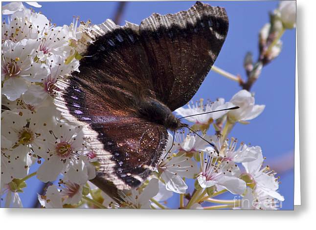 Feeding Pastels Greeting Cards - Mourning Cloak Greeting Card by Tracey Levine