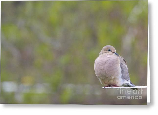 Mourning Dove Greeting Cards - Mourning Dove Greeting Card by Heidi Hermes