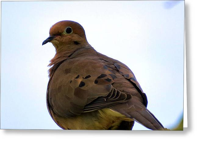 Morning Dove Photograph Greeting Cards - Mourning Dove Greeting Card by Michelle Milano