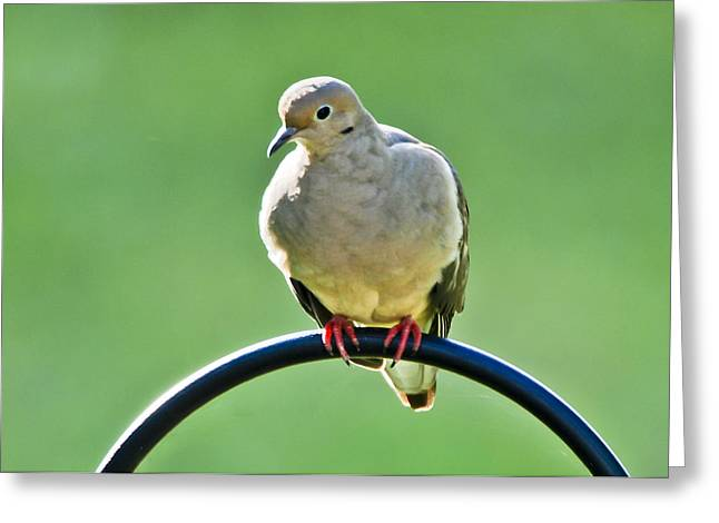 Morning Dove Photograph Greeting Cards - Mourning Dove Greeting Card by Noel Pennington