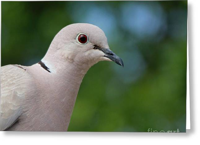 Morning Dove Photograph Greeting Cards - Mourning Dove Greeting Card by Rebecca Morgan