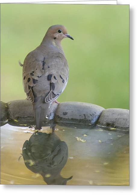 Mourning Dove Greeting Cards - Mourning Dove Reflection Greeting Card by Terry DeLuco