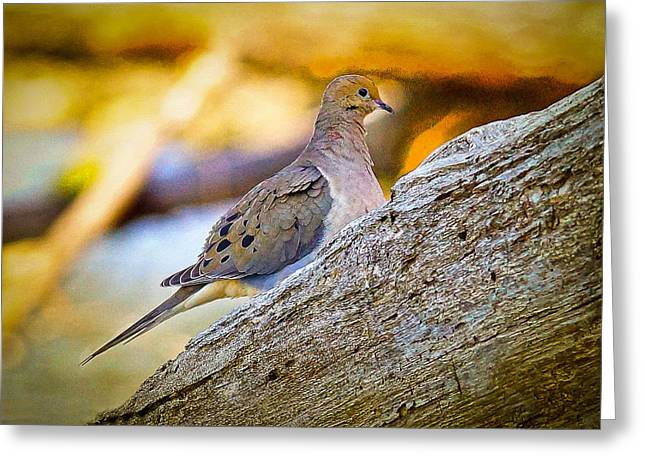Hunting Bird Greeting Cards - Mourning Dove Greeting Card by Richard Smith