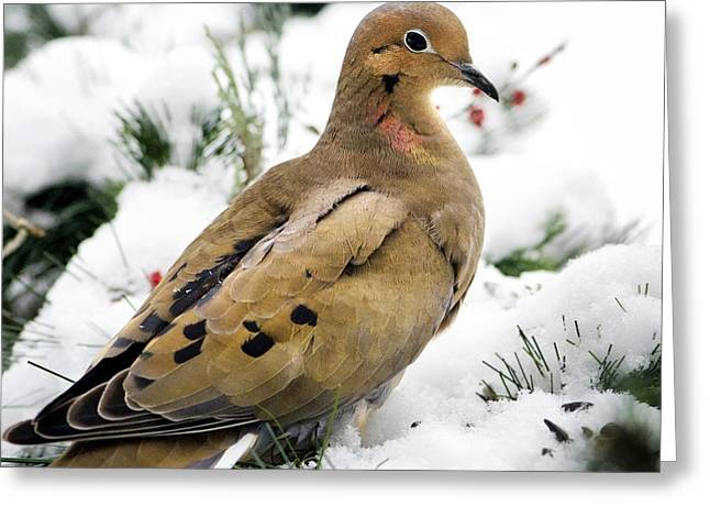 Birds In Snow Greeting Cards - Mourning Dove Square Greeting Card by Christina Rollo