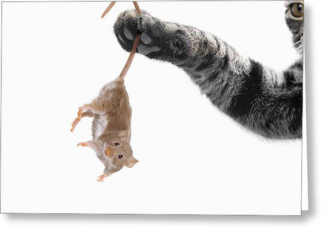 Adversary Greeting Cards - Mouse Dangling From Grey Tabby Cats Greeting Card by Thomas Kitchin & Victoria Hurst