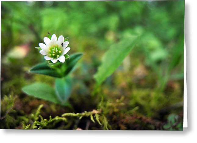 Mouse-Ear Chickweed Greeting Card by Christina Rollo