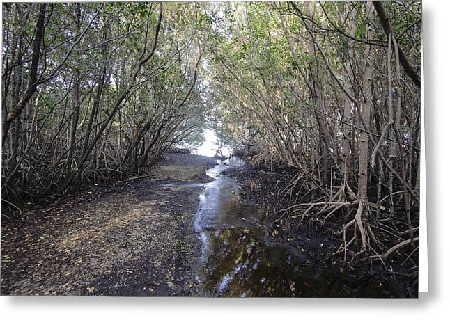 Mangrove Forest Greeting Cards - Mouth of the River Greeting Card by Manuel Lopez