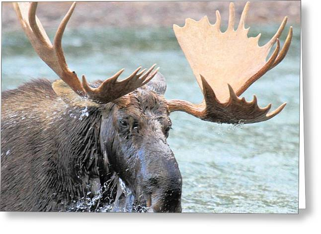 Moose In Water Greeting Cards - Mouthful Of Water Greeting Card by Adam Jewell