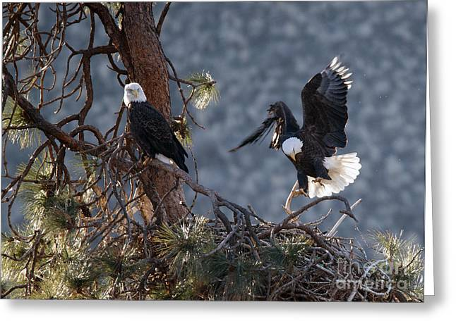 American Bald Eagle Greeting Cards - Move Over Greeting Card by Mike Dawson