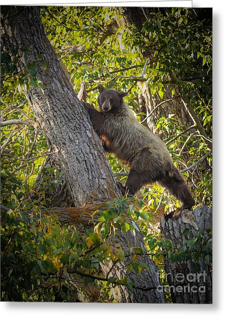 Black Bear Climbing Tree Greeting Cards - Movin On Up Greeting Card by Webb Canepa