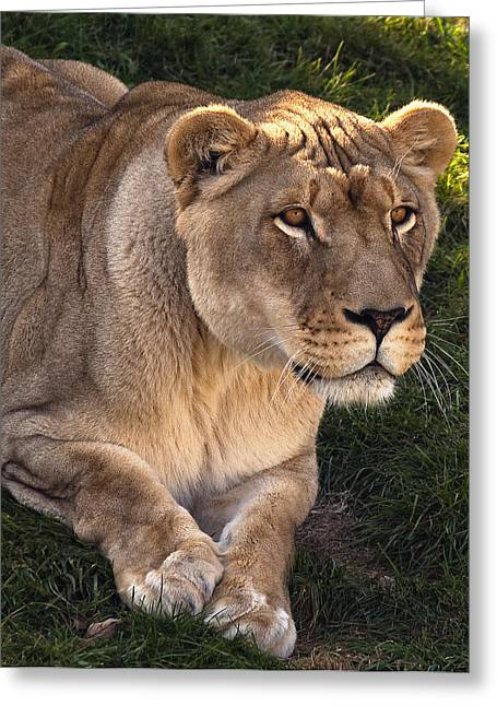 Lioness Greeting Cards - Moving In Greeting Card by Steve Harrington