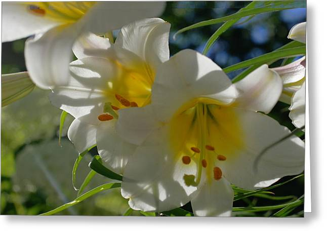 Moving Petals Greeting Cards - Moving White Hybrid Lilies With Streaming Bokeh Greeting Card by Rosemarie E Seppala