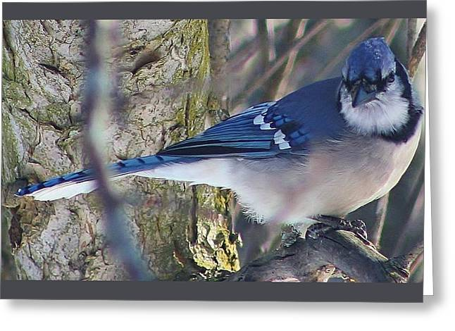 Mr. Blue Jay Greeting Card by Bruce Bley