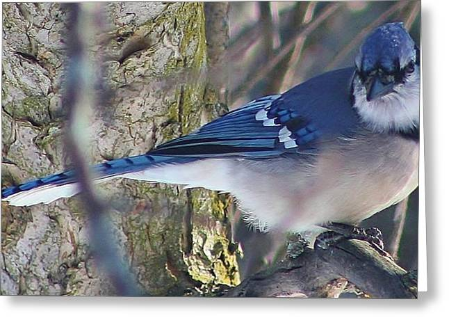 Galt Greeting Cards - Mr. Blue Jay Greeting Card by Bruce Bley