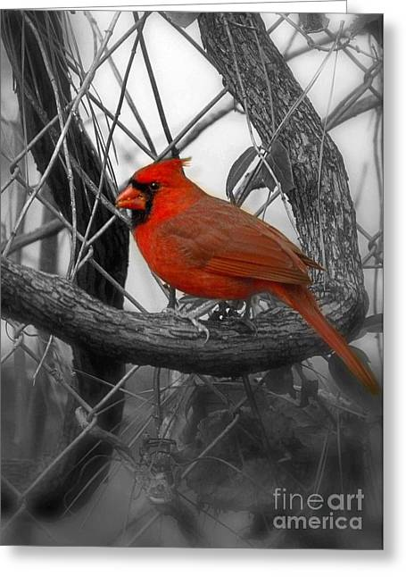 Biological Greeting Cards - Mr Cardinal -Card Greeting Card by Sandra Clark