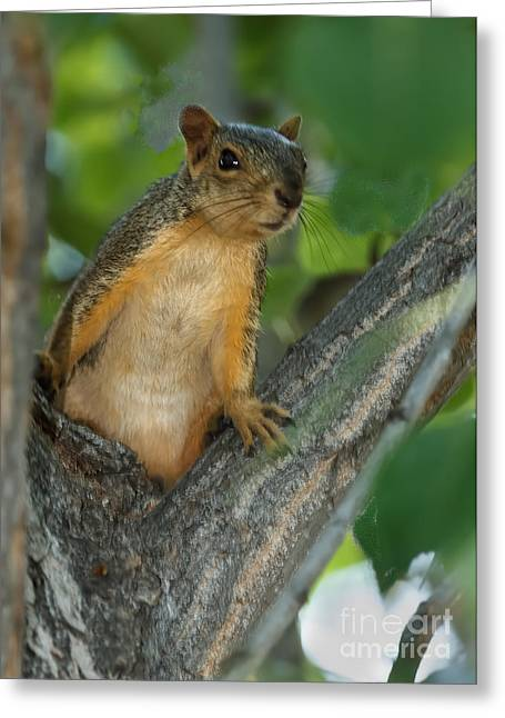 Eastern Fox Squirrel Greeting Cards - Mr.  Inquisitive  Greeting Card by Robert Bales